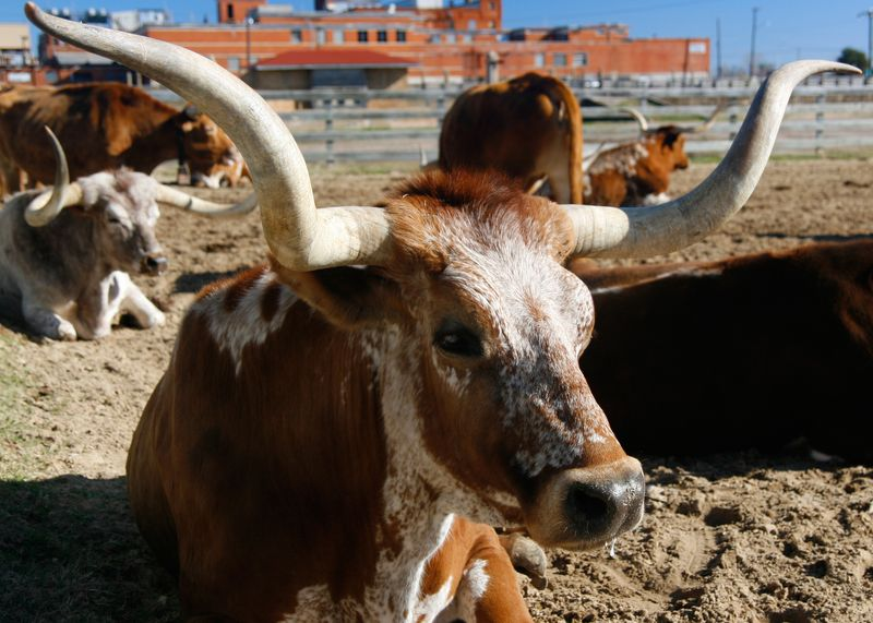 TexasLonghornCattle